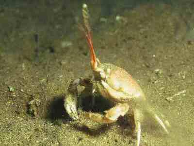 masked-crab